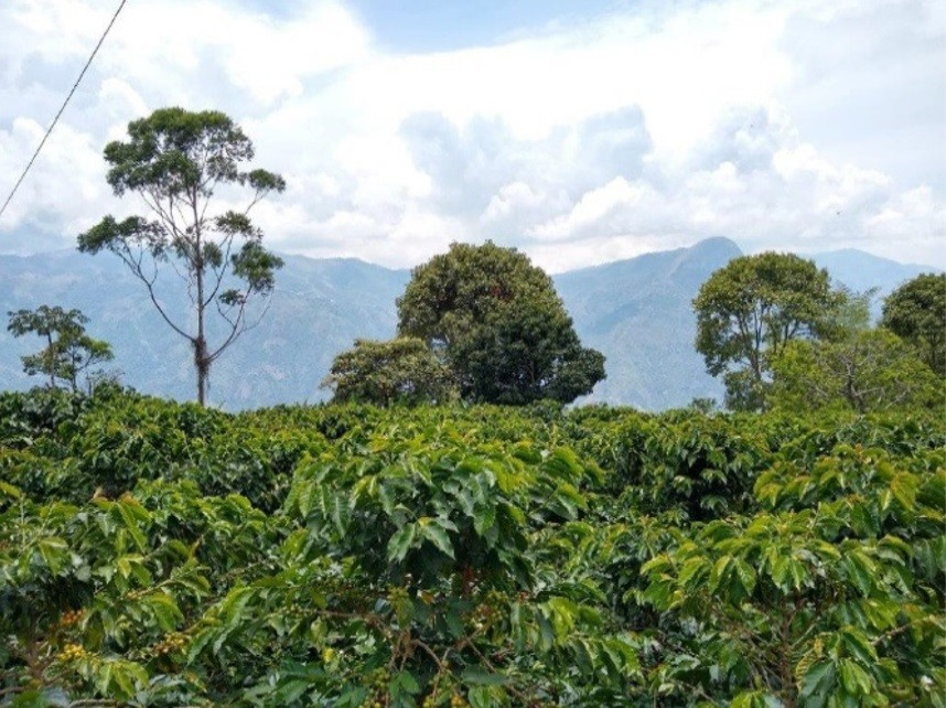 Colombia_corpi civili di pace_piantagione di caffè